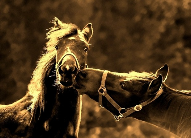 paardenkus