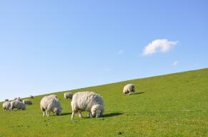 sheep-1877430_1280